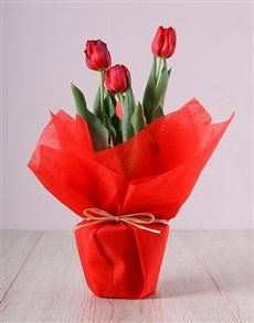 Looking for Women's Day gift ideas? Why not treat her to elegant and exquisite Women's Day flowers? These gorgeous red tulips will put a smile on her face this Women's Day Don't miss out, order these from NetFlorist today! Pink Happy Birthday, Happy Birthday Candles, Heart Balloons, Helium Balloons, Elizabeth Arden Red Door, Planting Tulips, Unicorn Balloon, Lucky To Have You, Perfect Plants