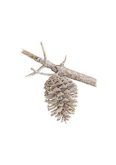 Pinus radiata Sue Boxshall