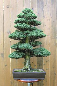 ♣ᴥHow do you like this cute tree?♦☺       #BonsaiInspiration