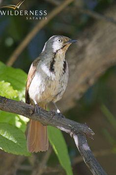 Birding with Wilderness Safaris - Collared palm-thrush