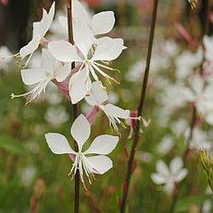 Gaura l. 'Whirling Butterflies' is een sierlijke plant. Draagt massa's witte bloemen van juni tot ver in oktober. Snoeien. Verzorging in de winter...