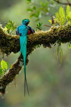 renamonkalou: Quetzal reposant sur un matin froid et pluvieux | Juan Carlos Vindas Costa Rica