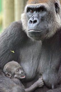 Mother Lena and baby Kituba at Dublin Zoo Gorillas In The Wild, Iron Lion Zion, Dublin Zoo, Ape Monkey, One In A Million, Monkeys, Predator, Westerns, Cute
