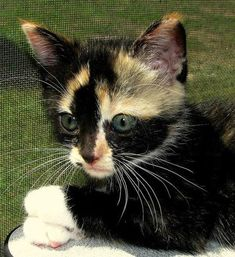 Did you know that - after all black cats - calicos / torties are the hardest cats to find homes for? How can that be? Look at this precious beastie. Pure blacks hard to find homes because of superstition belief. They are not evil cats. It is a human belief. Open mind, means open heart. Unconditional love is what these animals need. The Incensewoman