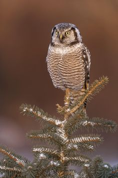 Northern Hawk Owl on snowy pines by Mike Lentz on 500px