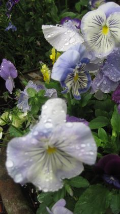 pansies and raindrops