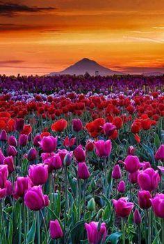 Spring tulip sunset. Orego #landscape