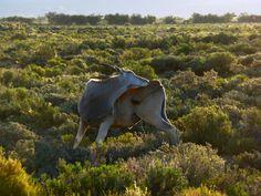 Big five Safari close to Cape Town. Inverdoorn and Iziba Safari Lodge. National Animal, Game Reserve, Impala, Cape Town, South Africa, Safari, Wildlife, Animals, Animales