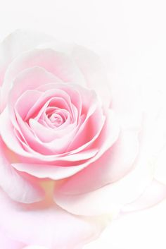 «rose, pink, and flowers»