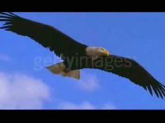 A águia em seu voo para vitória - YouTube