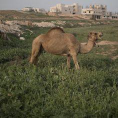 """Obama administration spending $400,000 on a camel sculpture for a new embassy building in Pakistan   The art is called, """"Camel Contemplating Needle."""" (WTF) Do we not have better things to use that money for?"""
