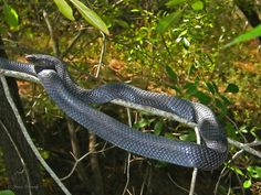 texas snakes non venomous | The non-venomous Texas Indigo Snake is found in scattered locations ...