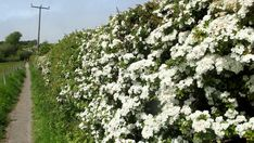 Image result for hawthorn hedge Hedges, Nativity, Paths, Home And Garden, Image, Writers, Relationships, Fishing, Parenting