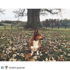 #Repost @kristin.posner .  {perfect fall days with the perfect dog} #reagan #corgi #corgisofinstagram #welshcorgi #falldog #fall #november #leaves #pretty #happy #dog #silly #sharethelex #lexington #kentucky