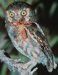 Speckled Elf Owl : speckled, Ideas, Beautiful