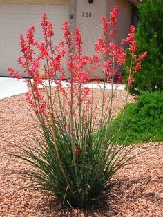 Hesperaloe parviflora (Red Yucca) - campinglivezcampinglivez