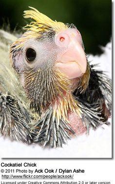 Cockatiel Chick
