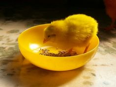 #mango #cute #adorable #chick