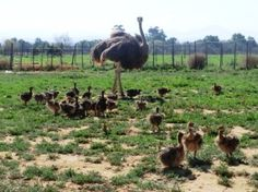 Ostrich Chicks are nidifugous ‹ Safari Ostrich Show Farm Knysna, South Africa, Westerns, Camel, Safari, Victoria, Tours, Gallery, Animals