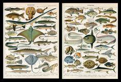 Fish, tuna, swordfish, shark, skate 2 Antique lithograph prints..Larousse 1897 | eBay