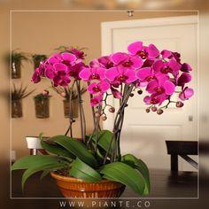 #Piante Cuando las orquídeas están creciendo activamente, riéguelas una vez por semana, esto permite que se sequen ligeramente antes de regarlas de nuevo. - http://piante.co/ - #Flores #Premium #Decoración #IdeasDeRegalos #Colombia #OrquídeasDeColombia #ColombianOrchids #Regalos #Regaloscorporativos