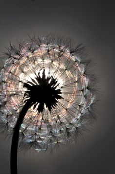 Dandelion ♥ Reminds me of the one very vivid reoccurring dream I used to have as a child. I'm on a park bench sitting next to an elderly man whom I don't know. He turns to me as I'm holding a dandelion & asks if I'd like to know the secret to life.