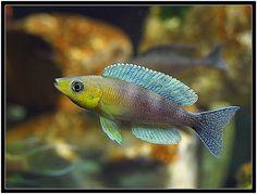 A male Kigoma Cyp shows off it's colours. Freshwater Aquarium, Aquarium Fish, Lac Tanganyika, Victoria Lake, South American Cichlids, Cool Fish, African Cichlids, Angel Fish, Beautiful Fish