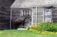 """Horsing Around: """"Waiting"""" by Ruth Schaefer — Ruth photographed a horse waiting at the door of the Olson   www.goldenrabbitsaddlery.comfarmhouse in Cushing, Maine. Ruth found something different with this photo from a famous farmhouse in Maine. Like a big dog, the horse looks like it is expecting to be let inside. The soft light really brings out the texture in the weathered house as well as the horse."""""""