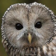 Ural owl by Klaus Kehlrs. Flickr