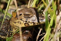 Black Caiman #crocodilian #reptile #biodiversity