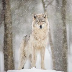 Canadian Gray Wolf