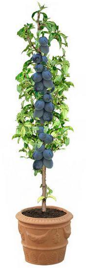 Vous rêvez de récolter des prunes juteuses et sucrées sur votre balcon ou votre terrasse? Rien de plus simple: découvrez comment cultiver un prunier en pot.