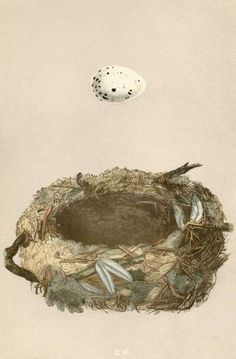 """Engraving from; """"A Natural History of the Nest and Eggs of British Birds"""" - By Reverend Francis Orpheus Morris, - 1850's early edition. .I like his idea to depict the eggs hovering over the nest. ."""