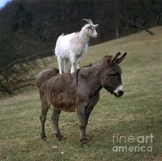 Donkey And Goat, by Hans Reinhard
