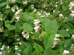 SYMPHYTUM grandiflorum - Kulsukker, farve: hvidgul, lysforhold: halvskygge, højde: 25 cm, blomstring: april - maj, god til bunddække, god til bier og andre insekter.
