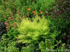 Spiraea thunbergii 'Ogon' (Mellow Yellow) - tiny white blooms in late March, orange fall color.  Prune immediately after flowering, either selectively or cut-back (to minimize size; shoots will grow 2-3 ft and flower next season).