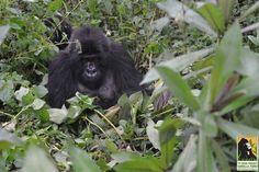 Un gorila camina hacia ellos. Pero qué tiene entre sus manos? Nadie podía creerlo #viral
