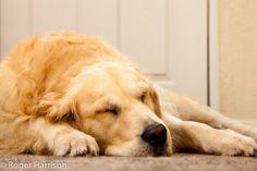 "Golden Retriever ~ Classic ""Resting"" Look"