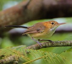 Long-billed gnatwren (Ramphocaenus melanurus)  photo by Greg Lavaty