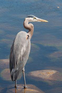 Great Blue Heron ♥ Solitude, Grace, Patience, Self-Reliance
