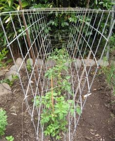 Tomato Garden Ideas the Mosaics Tomato Cages