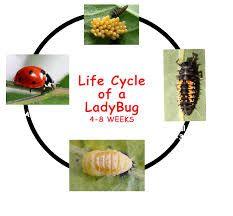 ladybug life cycle - Google Search