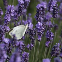 Welcome to the pure lavender website. Discover the fine lavender museum: distillation, essential oil, boutique with its natural products and the virtues of lavender therapy. Champs, Museum Collection, A Boutique, Trip Advisor, Documentaries, Essential Oils, Organic, Pure Products, Nature