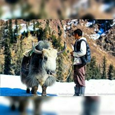 Have a ride on a Yak in #Manali , sounds mad but it is a fun strange experience as you must have never seen one before let alone touch one.