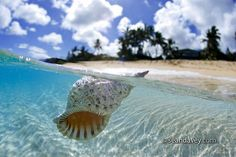 This is simply beautiful Floating Conch Shell by Sean Davey Photography on Flickr.