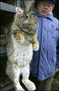 The enormous animal might just be the biggest bunny the world has ever seen. Bigs Bunny is 4 feet long and weighs 50 lbs. It's a Continental Giant rabbit which typically weigh between 12 and 16 pounds. Giant Rabbits For Sale, Large Rabbits, Giant Bunny, Big Bunny, Flemish Giant Rabbit, Meat Rabbits, Raising Rabbits, Funny Animals, Cute Animals
