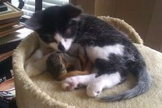 """A Reddit user posted these pictures and wrote """"this little squirrel keeps coming in through the doggy door to hang out with my cat."""" Ahhhhh!"""