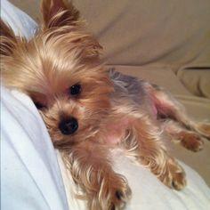 My little guy, Oliver. #yorkie #puppy