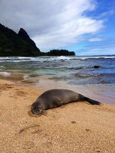 Kailua Oahu, Oahu Hawaii, Cute Baby Animals, Funny Animals, Funny Animal Photos, Animal Pics, Hawaiian Monk Seal, Hawaiian People, Polynesian Culture