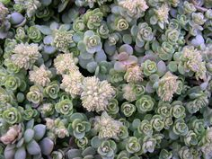 Sedum ternatum: Its white flowers in the shape of stars emerge in spring and summer and have an attractive green foliage with hints of pink, grows about 15 inches tall and spreads laterally, prefers shade and supports low temperatures originates from the eastern Appalachian USA .